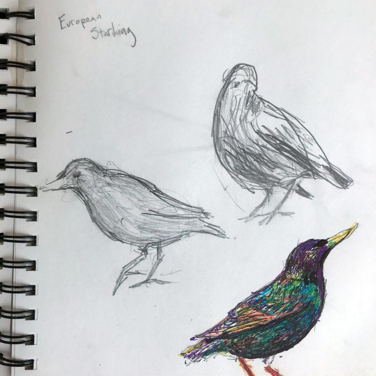 Sketches of European Starlings by Noel hefele
